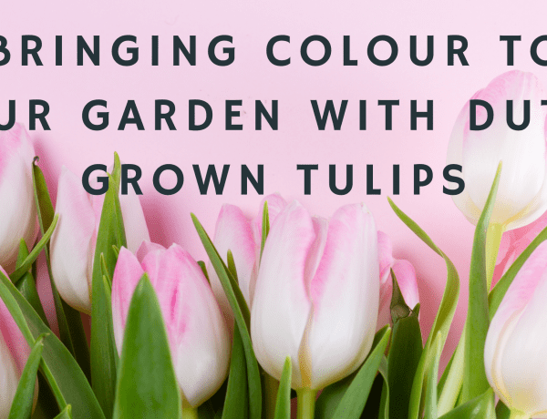 Bringing Colour To Your Garden With Dutch Grown Tulips